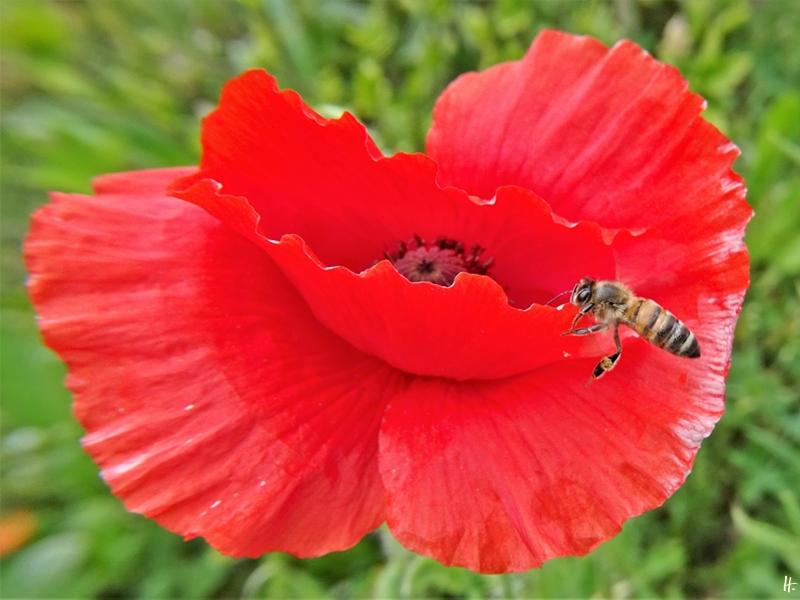 2020-05-16 LüchowSss Garten Klatschmohn (Papaver rhoeas) + Europäische Honigbiene (Apis mellifera)