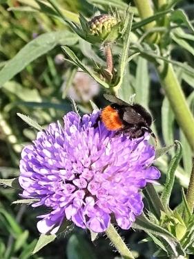 2020-05-17 LüchowSss Garten Acker-Witwenblume (Knautia arvensis) + Steinhummel (Bombus lapidarius) (1)