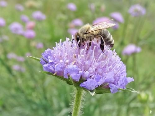 2020-05-18 LüchowSss Garten Ackerwitwenblumen (Knautia arvensis) + Europäische Honigbiene (Apis mellifera) (1)