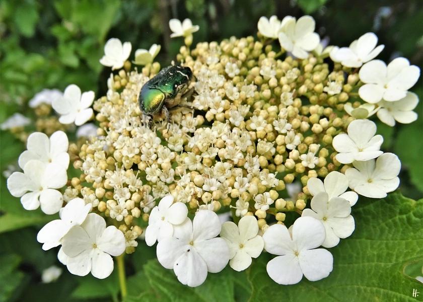 2020-05-18 LüchowSss Garten Goldglänzender Rosenkäfer (Cetonia aurata) + Gewöhnlicher Schneeball (Viburnum opulus) (1)