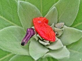 2020-05-18 LüchowSss Garten Klatschmohn (Papaver rhoeas)-Stilleben auf Kleinblütiger Königskerze (Verbascum thapsus)