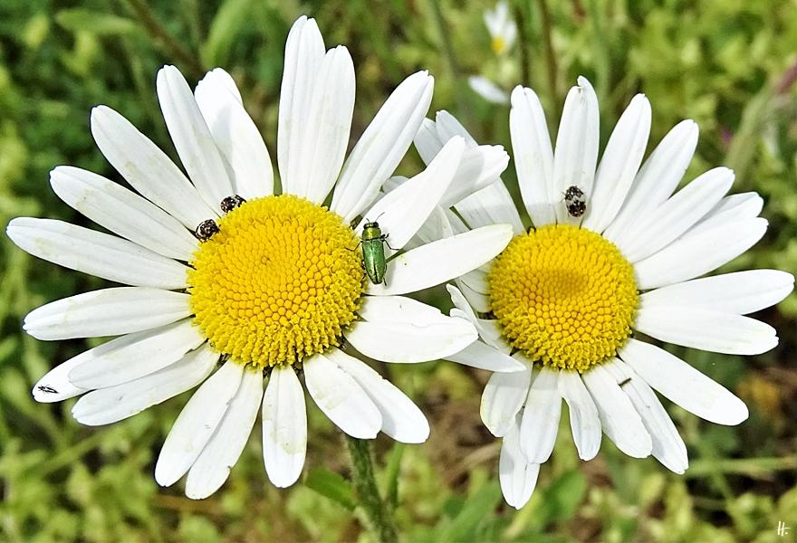 2020-05-18 LüchowSss Garten Magerwiesen-Margeriten (Leucanthemum vulgare)+ Glänzender Blütenprachtkäfer (Anthaxia nitidula) männlich + Bibernellen-Blütenkäfer (Anthrenus pimpinellae)