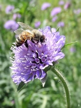 2020-05-20 LüchowSss Garten Acker-Witwenblumen (Knautia arvensis) + Europäische Honigbiene (Apis mellifera) (2)