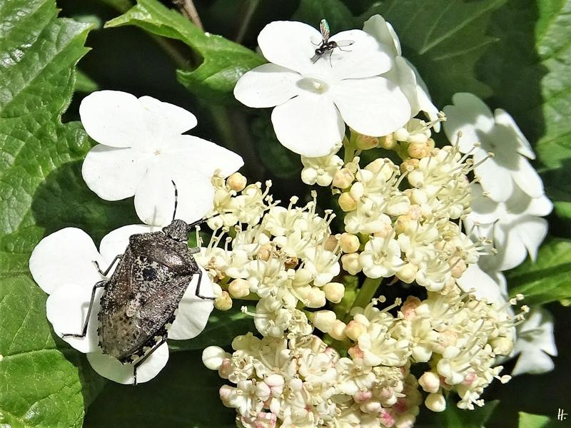 2020-05-20 LüchowSss Garten Graue Gartenwanze (Rhaphigaster nebulosa) + Gewöhnlicher Schneeball (Viburnum opulus) + Glänzende Schwingfliege (Sepsis fulgens)