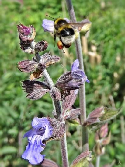 2020-05-20 LüchowSss Garten Salbei (Salvia officinalis) + Gartenhummel (Bombus hortorum) (2)
