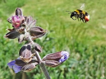 2020-05-20 LüchowSss Garten Salbei (Salvia officinalis) + Gartenhummel (Bombus hortorum) (3)