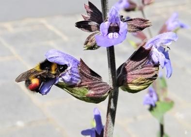 2020-05-20 LüchowSss Garten Salbei (Salvia officinalis) + Gartenhummel (Bombus hortorum) (5)