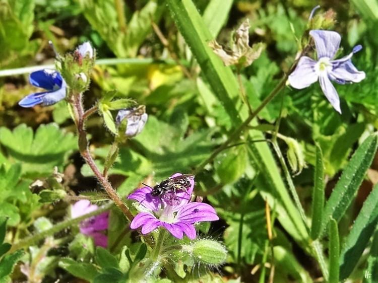 2020-05-20 LüchowSss Garten Zwergsandbiene (Andrena minutula) + Weicher Storchenschnabel (Geranium molle)
