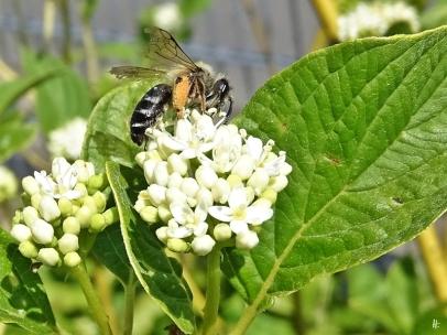 2020-05-21 LüchowSss Garten Gelbholz-Hartriegel (Cornus sericea 'Flaviramea') + Wildbiene (2)