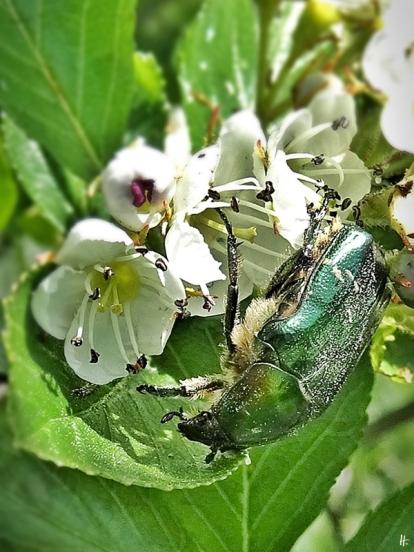 2020-05-21 LüchowSss Garten Hahnensporn-Weißdorn (Crataegus crus-galli) + Goldglänzender Rosenkäfer (Cetonia aurata)
