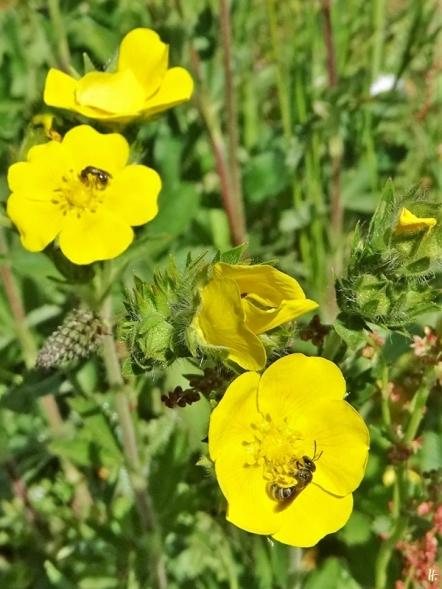 2020-05-21 LüchowSss Garten Hohes Fingerkraut (Potentilla rectans) +2 Wildbienen (Furchen- u. Schmalbiene)
