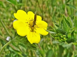 2020-05-21 LüchowSss Garten Hohes Fingerkraut (Potentilla rectans) + wahrscheinlich Cephus spinipes, eine Halmwespe(2)