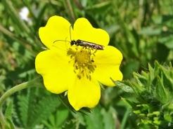 2020-05-21 LüchowSss Garten Hohes Fingerkraut (Potentilla rectans) + wahrscheinlich Cephus spinipes, eine Halmwespe(4)