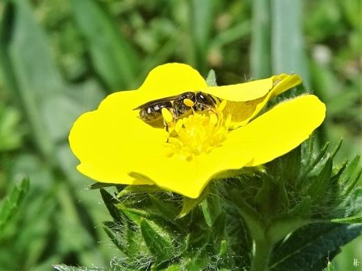 2020-05-21 LüchowSss Garten Hohes Fingerkraut (Potentilla rectans) + Wildbiene (vermutl. Furchenbiene)
