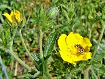 2020-05-21 LüchowSss Garten Hohes Fingerkraut (Potentilla rectans) + Wildbiene (Furchenbiene Halictus) (3)