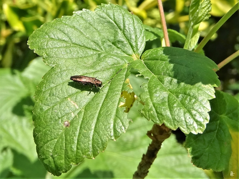 2020-05-21 LüchowSss Garten Johannisbeer-Schmalprachtkäfer (Agrilus ribesi) auf Schwarzer Johannisbeere (Ribes nigrum) (1)