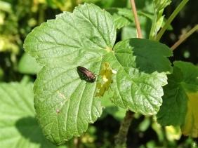 2020-05-21 LüchowSss Garten Johannisbeer-Schmalprachtkäfer (Agrilus ribesi) auf Schwarzer Johannisbeere (Ribes nigrum) (2)