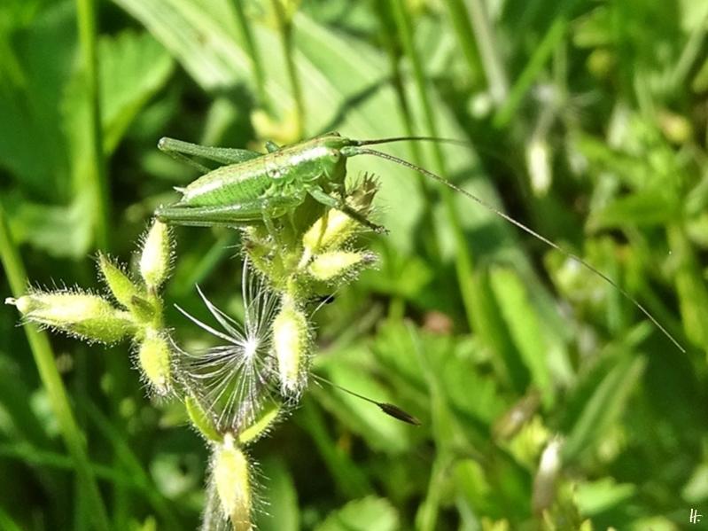 2020-05-21 LüchowSss Garten Larve vom Grünen Heupferd (Tettigonia viridissima)