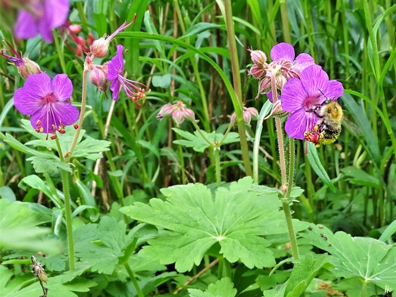 2020-05-23 LüchowSss Garten Balkan-Storchenschnabel (Geranium macrorrhizum) + Ackerhummel (Bombus pascuorum)