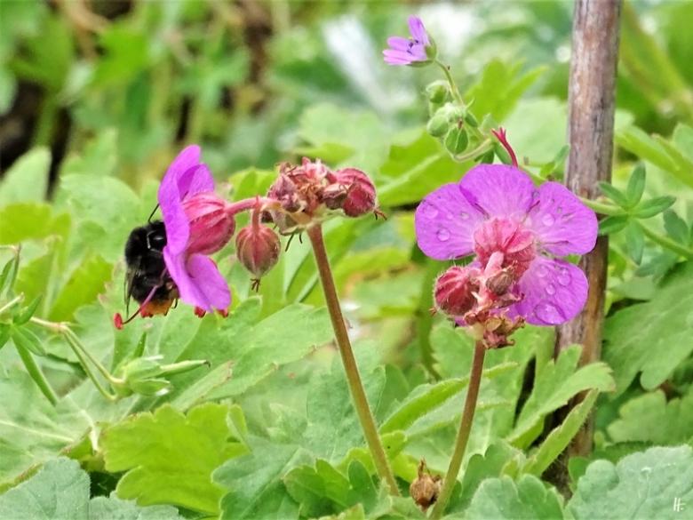 2020-05-23 LüchowSss Garten Balkan-Storchenschnabel (Geranium macrorrhizum) + Steinhummel (Bombus lapidarius)