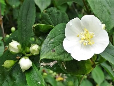 2020-05-23 LüchowSss Garten Europäischer Pfeifenstrauch bzw. Bauernjasmin - (Philadelphus coronarius) 1. Blüte