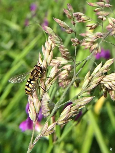 2020-05-23 LüchowSss Garten Gemeine Feld-Schwebfliege (Eupeodes corollae)