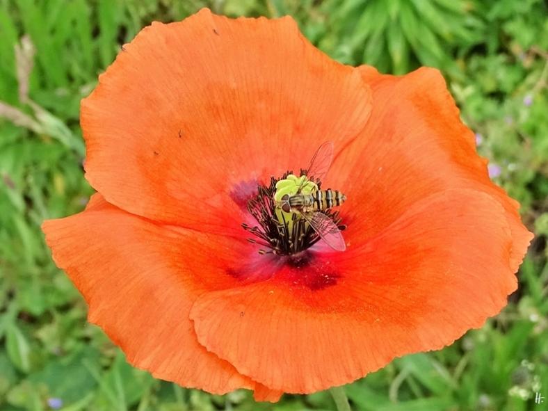 2020-05-23 LüchowSss Garten Saatmohn (Papaver dubium) + Hain-Schwebfliegen (Episyrphus balteatus, f.)