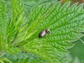 2020-05-23 LüchowSss Garten Sumpf-Sonnenspringer (Heliophanus auratus) auf Brennnesselblatt