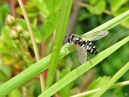 2020-05-24 LüchowSss Garten Mondfleck-Feldschwebfliege (Eupeodes luniger) (2)