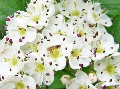 """2020-05-24 LüchowSss Garten Hahnensporn-Weißdorn (Crataegus crus-galli) + kl. orangefarbene """"Fliege"""" bzw. eher eine Pflanzenwespe (1)"""