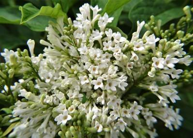 2020-05-24 LüchowSss Garten Kanada-Flieder 'Agnes Smith' (Syringa josiflexa)