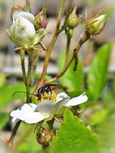 2020-05-26 LüchowSss Garten die 'Findelrose' blüht + Schwarzer Schmalbock (Stenurella nigra) (2)