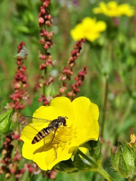 2020-05-26 LüchowSss Garten Hohes Fingerkraut (Potentilla recta) + Hain-Schwebfliege (Episyrphus balteatus, m.) + Kl. Ampfer