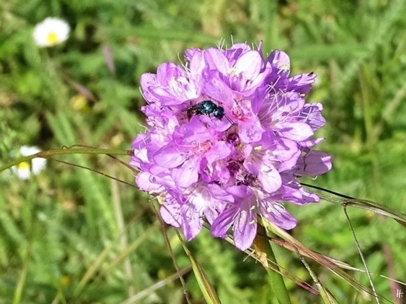 2020-05-26 LüchowSss Garten Strand-Grasnelke (Armeria maritima) + Gemeine Goldwespe (Chrysis ignita)
