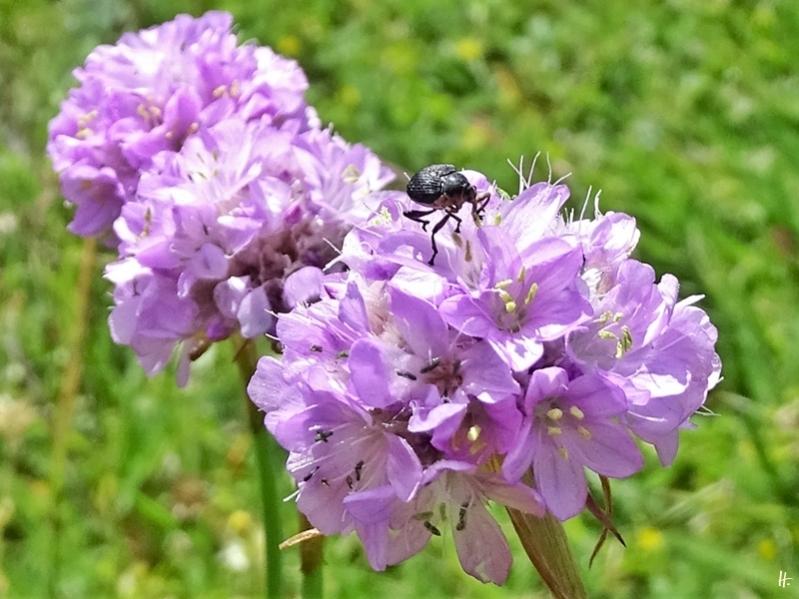 2020-05-26 LüchowSss Garten Strand-Grasnelke (Armeria maritima) + Weisspunktiger Schwertlilienrüssler (Mononychus punctumalbum)