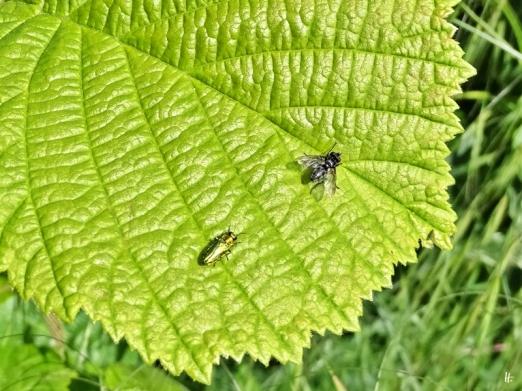 2020-05-26 LüchowSss Garten Zierlicher Prachtkäfer (Anthaxia nitidula) Männchen + Fliege auf Haselblatt (1)