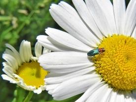 2020-05-26 LüchowSss Garten Zierlicher Prachtkäfer (Anthaxia nitidula) Weibchen auf Magerwiesen-Margerite