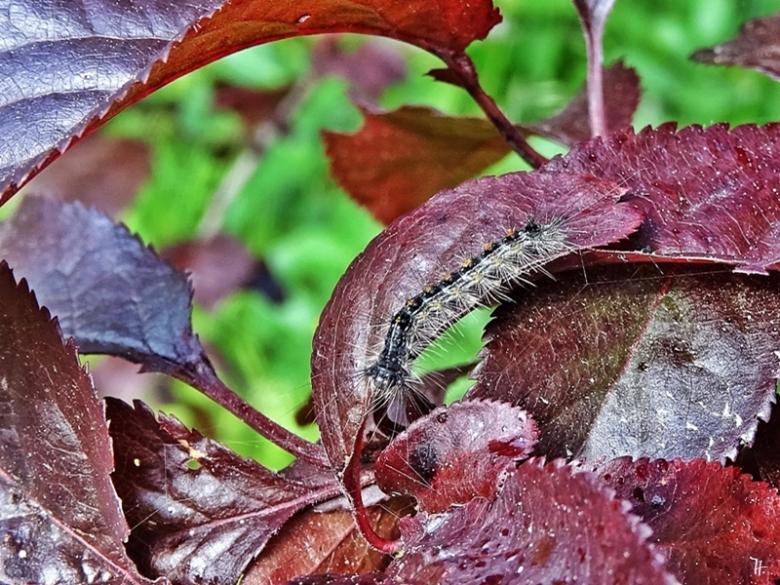 2020-05-27 LüchowSss Garten Blutpflaume (Prunus cerasifera 'Nigra') + Goldafter-Raupe (Euproctis chrysorrhoea) (2)