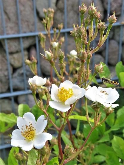 2020-05-27 LüchowSss Garten Findelrose mit Hain-Schwebfliege (Episyrphus balteatus)