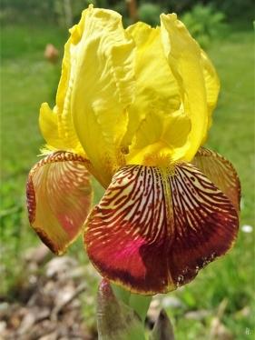 2020-05-27 LüchowSss Garten Gelberote Bauerngarten-Bartiris 'Heidruns' (Iris barbata od. Iris germanica) morgens (2)