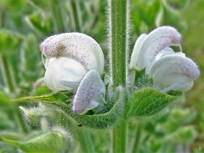 2020-05-27 LüchowSss Garten Wolliger od. Silberblatt Salbei (Salvia argentea) (2)