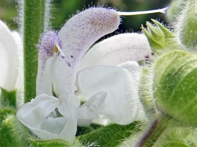 2020-05-27 LüchowSss Garten Wolliger od. Silberblatt Salbei (Salvia argentea) (7)
