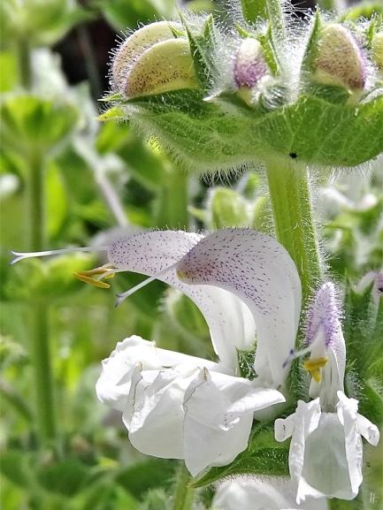 2020-05-28 LüchowSss Garten Wolliger Salbei bzw. Silberblatt-Salbei (Salvia argentea) (6)
