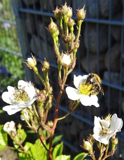 2020-05-29 LüchowSss Garten Findelrose mit Ackerhummel (Bombus pascuorum) (1)