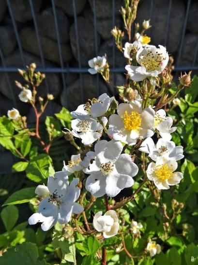 2020-05-29 LüchowSss Garten Findelrose morgens