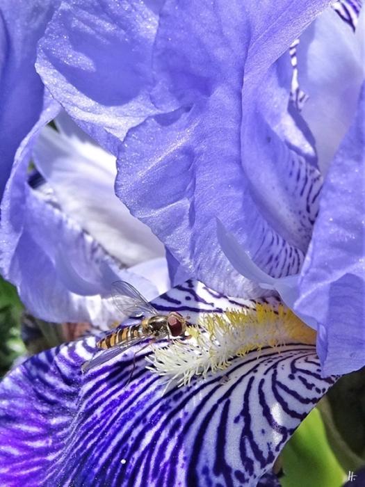 2020-05-30 LüchowSss Garten Hain-Schwebfliege (Episyrphus balteatus, f.) an Bartiris (Iris barbata) (1)