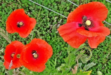 2020-05-23 LüchowSss Garten Klatschmohn (Papaver rhoeas) + 2 Dunkle Erdhummeln (Bombus terrestris) + 1 Wildbiene