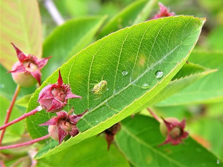 2020-05-24 LüchowSss Garten Kürbisspinne (Araniella cucurbitina) im Felsenbirnenblatt