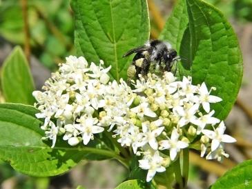2020-05-26 LüchowSss Garten Gelbholz-Hartriegel (Cornus sericea 'Flaviramea') + Graue Sandbiene (Andrena cineraria) (2)