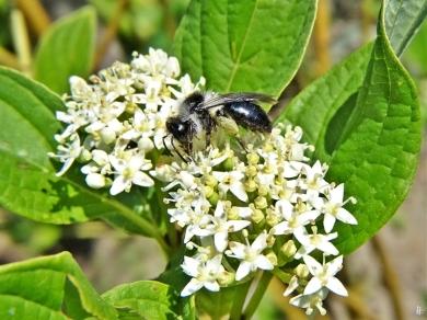 2020-05-26 LüchowSss Garten Gelbholz-Hartriegel (Cornus sericea 'Flaviramea') + Graue Sandbiene (Andrena cineraria) (4)